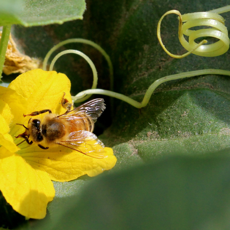 Honey+bee+pollinating+melon+blossom+Photo+Credit+Dan+Wyns